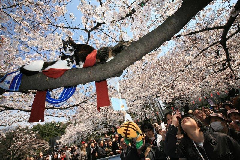 День кошек в Японии. Фото с сайта pix.avaxnews.com
