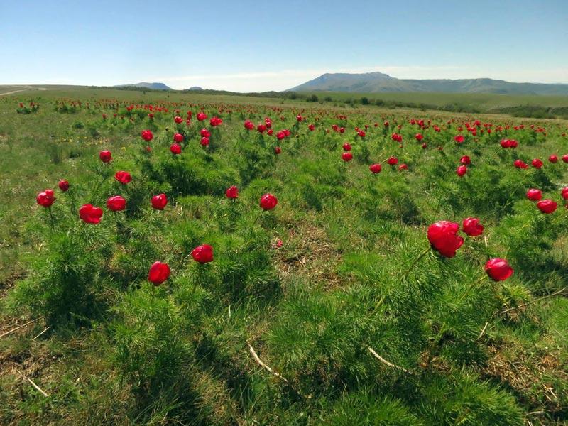 Поля цветов в Крыму. Фото с сайта static.panoramio.com 1